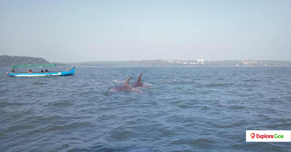 Dolphin-Watching-in-Goa